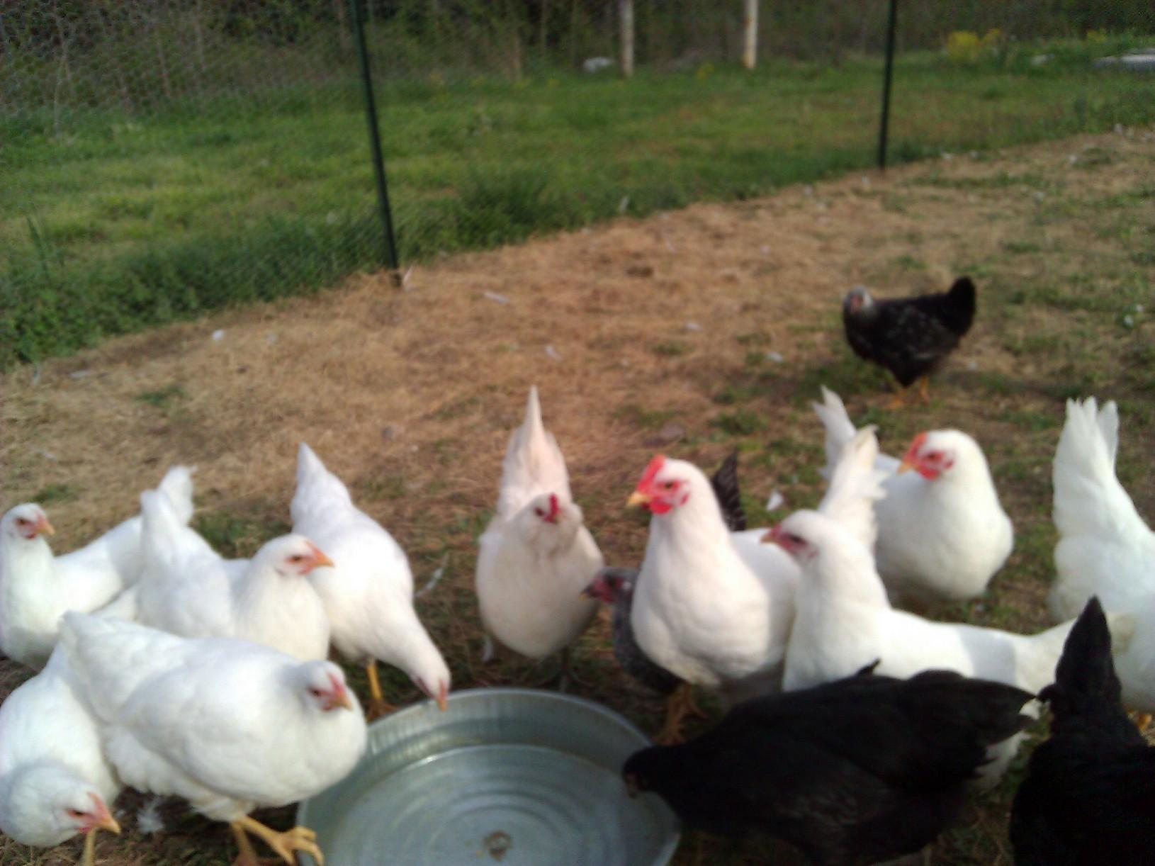 White Chicken Hen