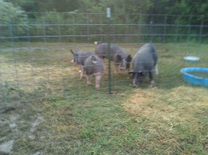 3 out of the 4 older pigs.  I didn't want to give you a shot of the boar from behind because I was afraid it would scare small children and the elderly.