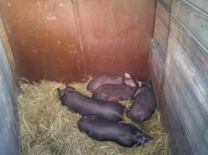 Hush little piggies don't say a word...mama's gonna buy you a big pile of food